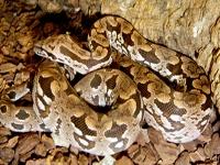 Boa Snakes :Dumeril's Ground Boa (Acrantophis Dumerili)