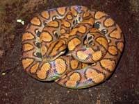 Boa Snakes :Brazilian Rainbow Boa (Epicrates Cenchria Cenchria)