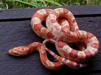 Corn Snakes :Albino (Elaphe G.Guttata)