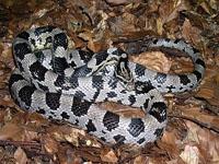 Corn Snakes :Anerytristic (Elaphe G.Guttata)