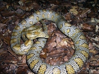 Corn Snakes :Caramel (Elaphe G.Guttata)