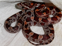 Corn Snakes :Normal (Elaphe G.Guttata)