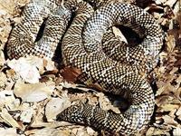 King Snakes:Floridan (Lampropeltis G.Floridana)
