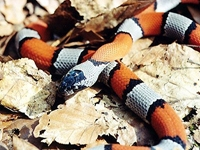 King Snakes:Gray Banded (Lampropeltis Alterna)