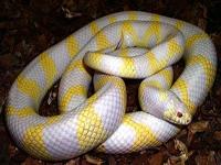 King Snakes:Albino Banded (Lampropeltis G.Californiae)