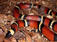 Milk Snakes:Mexican (Lampropeltis T.Annulata