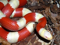 Milk Snakes:Nelson Albino (Lampropeltis T.Nelsoni)
