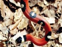 Milk Snakes:Sinaloan Zipper (Lampropeltis T.Sinaloae)