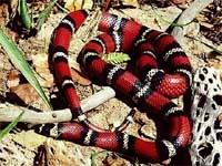 Milk Snakes:Sinaloan (Lampropeltis T.Sinaloae)