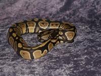 Python Snakes :Ball Python (Python Regius)