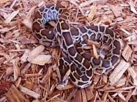Python Snakes :Burmese Python (Python Molurus)