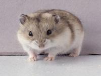 Χάμστερ μίνι Ρωσίας  (Phodopus Djungarus)