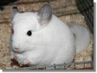 Τσιντσιλά Λευκό  (Chinchilla Lanigera)