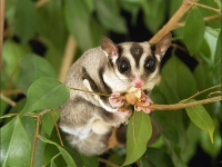 Σκιουράκι Sugar gliders(petaurus breviceps)