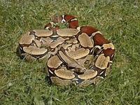 Boa Snakes :Boa (Boa Constrictor)