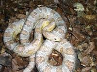 Corn Snakes:Ghost (Elaphe G.Guttata