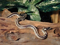 King Snakes:Desert Striped (Lampropeltis G.Californiae)