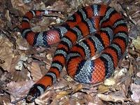 King Snakes:Ruthven's (Lampropeltis Ruthveni)