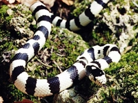 King Snakes:50-50 Black & White (Lampropeltis G.Californiae)