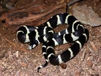 King Snakes:Desert Banded (Lampropeltis G.Californiae)