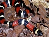 Milk Snakes:Pueblan (Lampropeltis T.Campbelli)