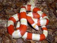 Milk Snakes:Honduran Albino (Lampropeltis T.Hondurensis)