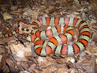 Milk Snakes:Variable (Lampropeltis Mexicana Thayeri)
