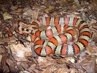 Milk Snakes:Variable (Lampropeltis Mexicana Thayeri)
