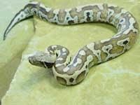 Python Snakes :Red Blood Python (Python Curtus)