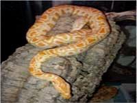 Python Snakes :Albino Burmese Python (Python Molurus)